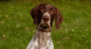 german shorthaired pointer names long
