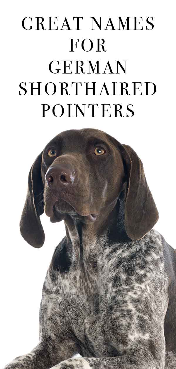 German Shorthaired Pointer Names You And Your Dog Will Love