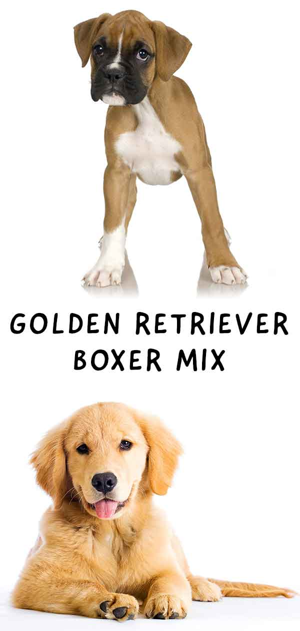 Golden Boxer mix!