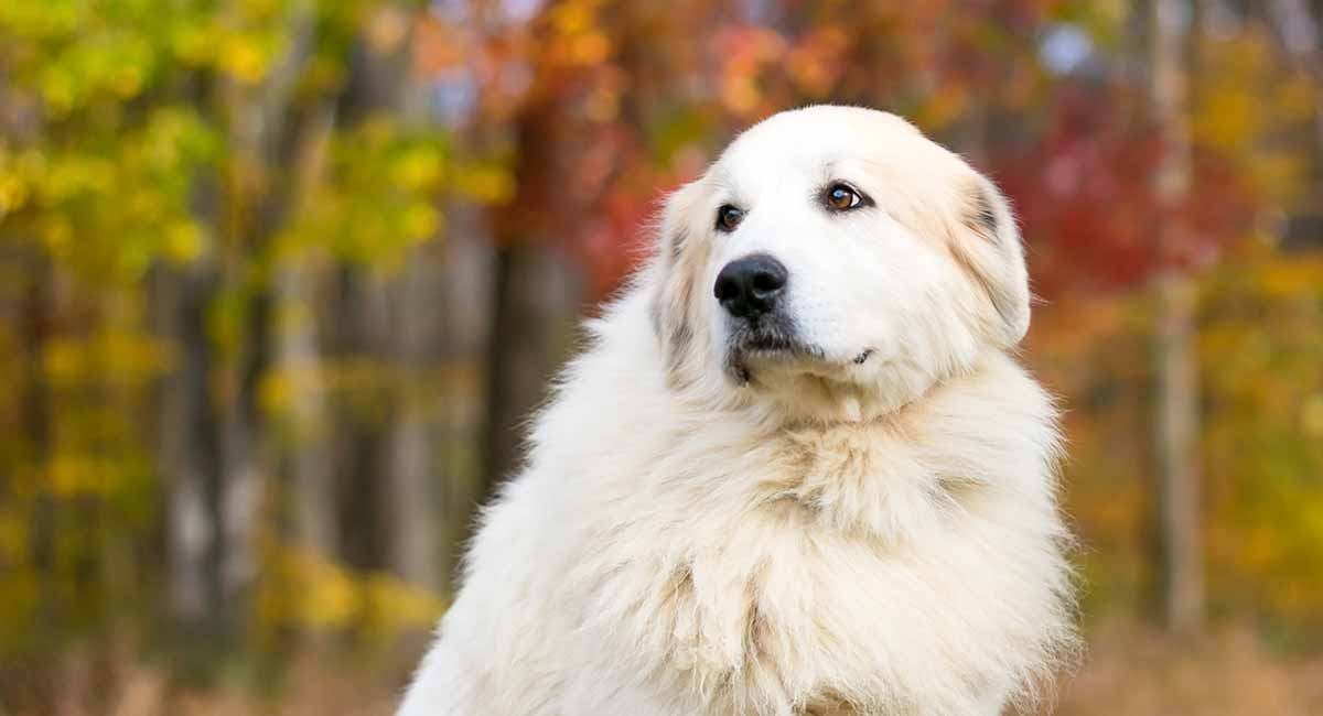 Great Pyrenees are great big dogs!