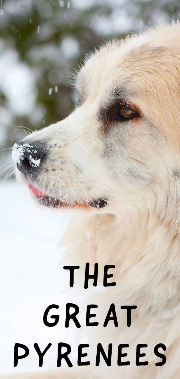Learn more about the Great Pyrenees coat and other characteristics