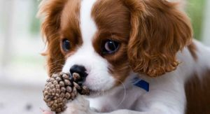 King Charles Spaniel: Is This Friendly Dog Your Perfect Pet?