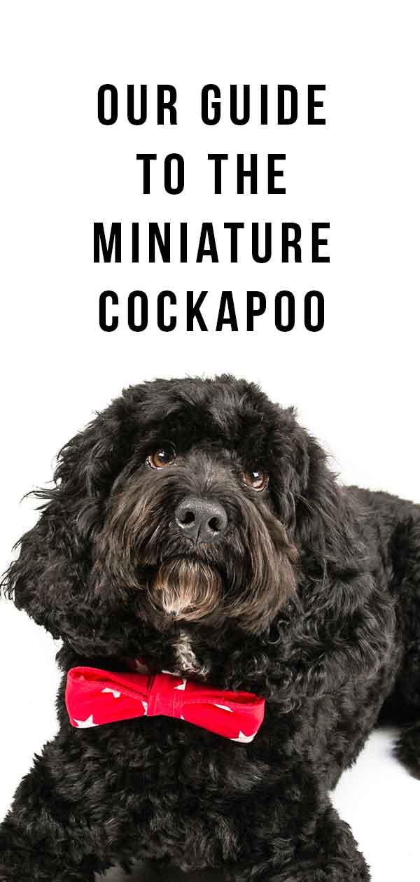miniature cockapoo