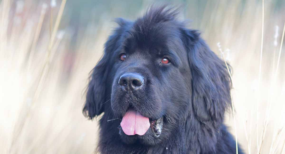 The Newfoundland dog is a giant breed.