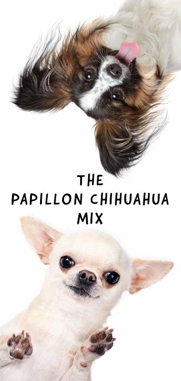 papillon chihuahua mix