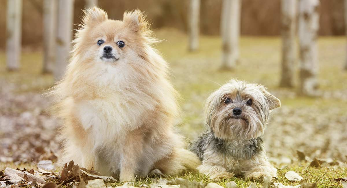 Pom Terrier A Complete Guide To The Pomeranian Yorkshire Terrier Mix