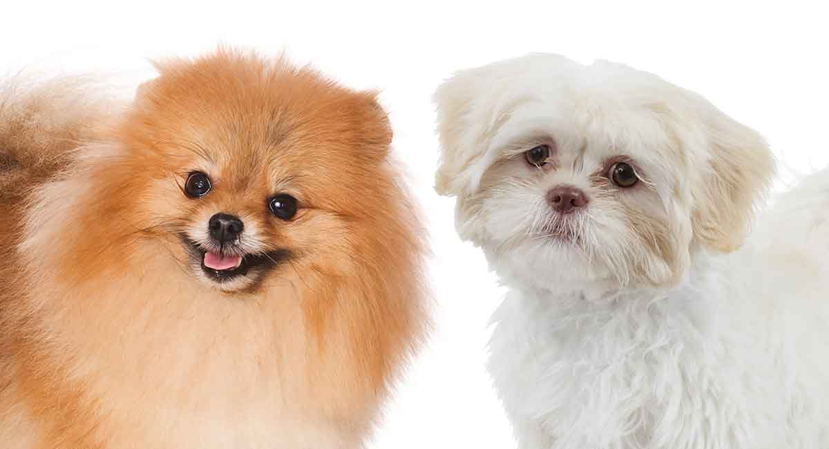 Check out the Pomeranian Shih Tzu mix!