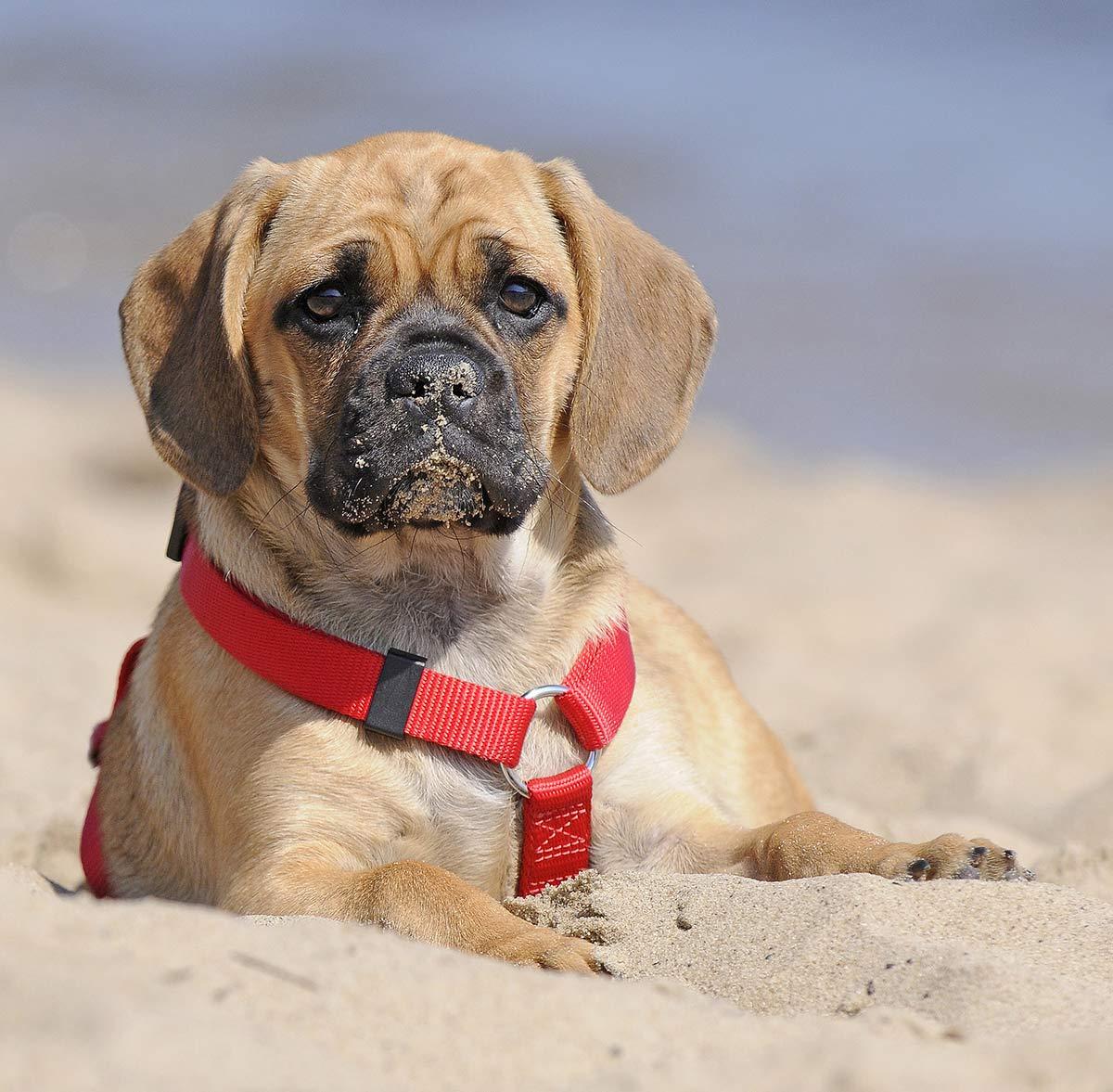 A Pug Beagle Mix Breed