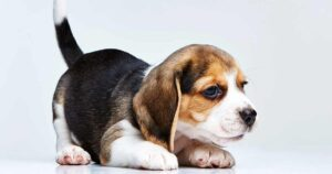 Puppy Development Stages with Growth Charts and Week by Week Guide