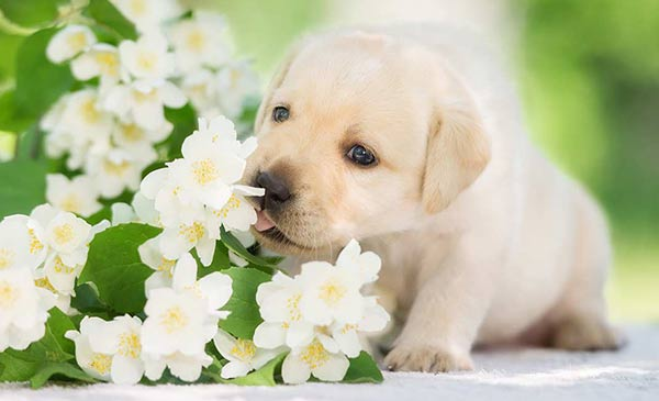 This yellow lab puppy has just learned to walk. When do puppies start walking? Find out in our complete guide