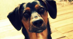 Rottweiler Lab Mix – Family Friendly or Loyal Protector?