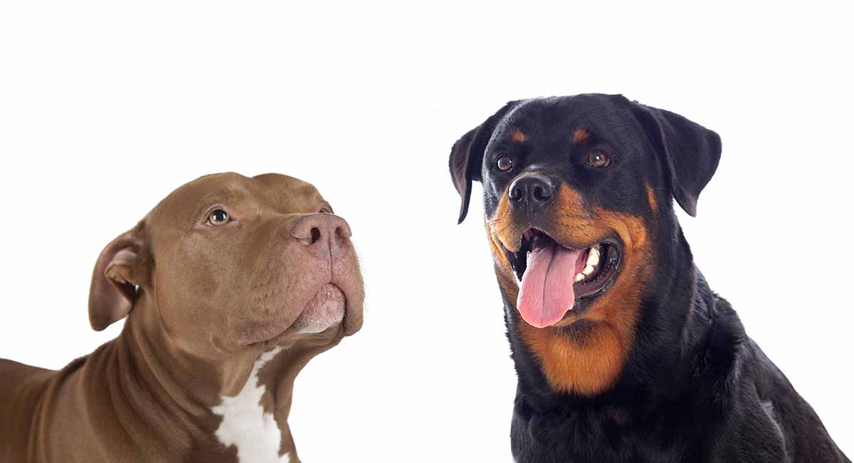 Image result for rottweiler and pitbull