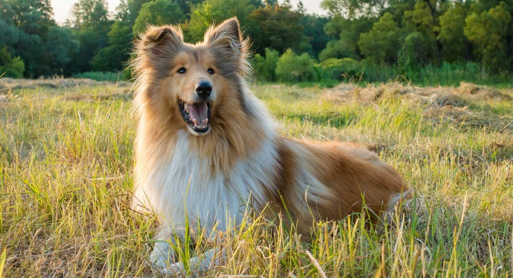 collie - the rough collie