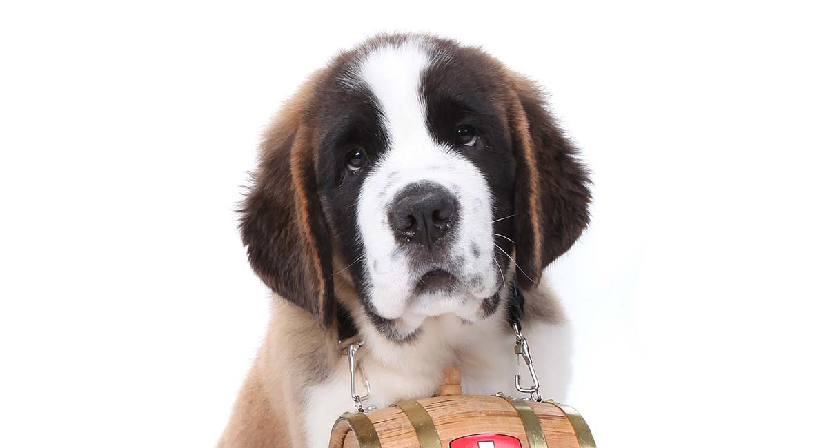Saint Bernard – Is This Gentle Giant Your Ideal New Family