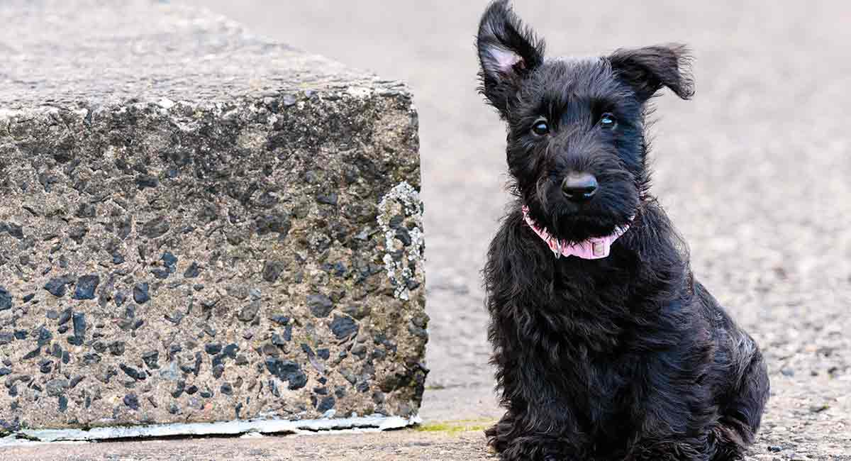 scottish dog breeds - scottish terrier
