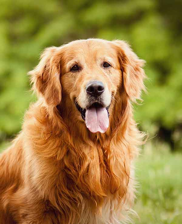 happy red golden retriever