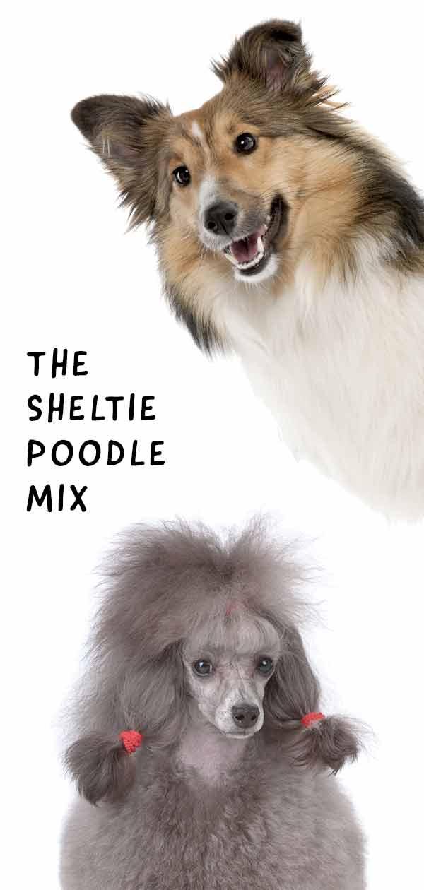 Shetland Sheepdog Poodle Mix