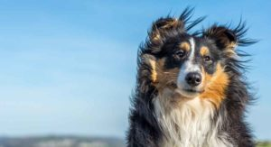 Shetland Sheepdog – How Well Do You Know Your Sheltie?