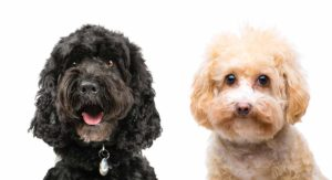 Small Poodle Mixes – The Top Ten Curly Cross Breeds
