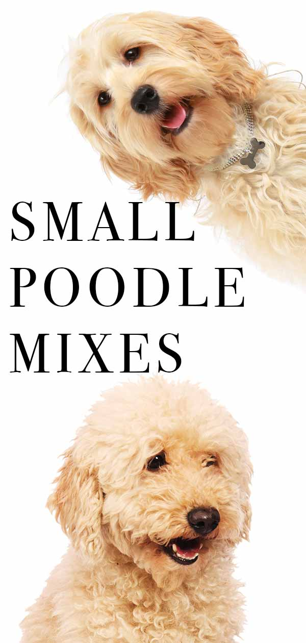small poodle mixes guide