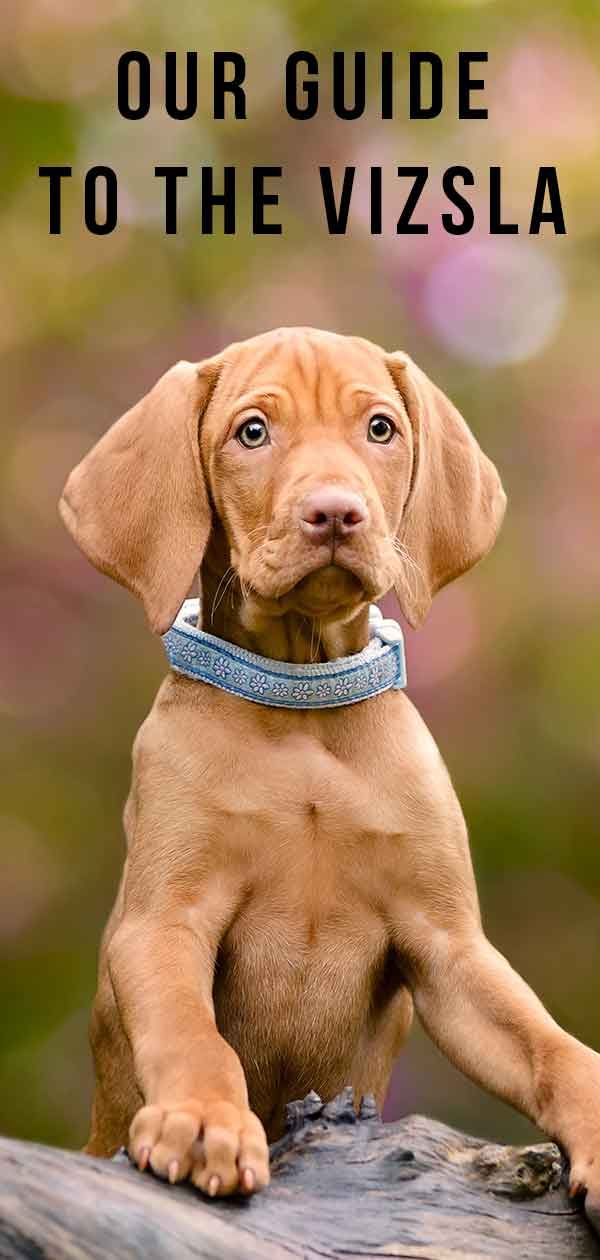Learn more about Vizsla puppies.