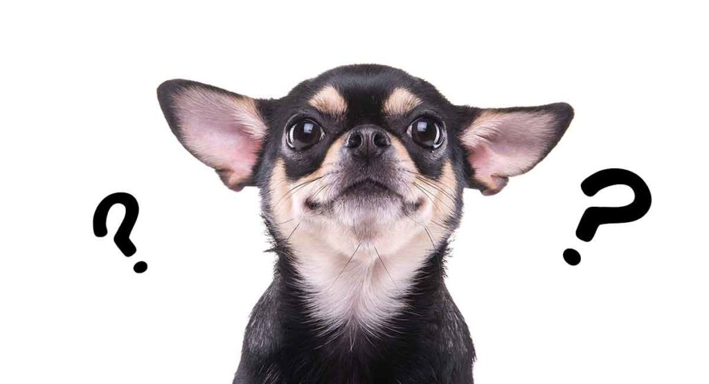 where do chihuahuas come from