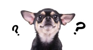 Where Do Chihuahuas Come From? Amazing Origins of the Chihuahua