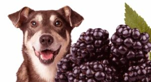 Can Dogs Have Blackberries? A Guide To Dogs And Blackberries