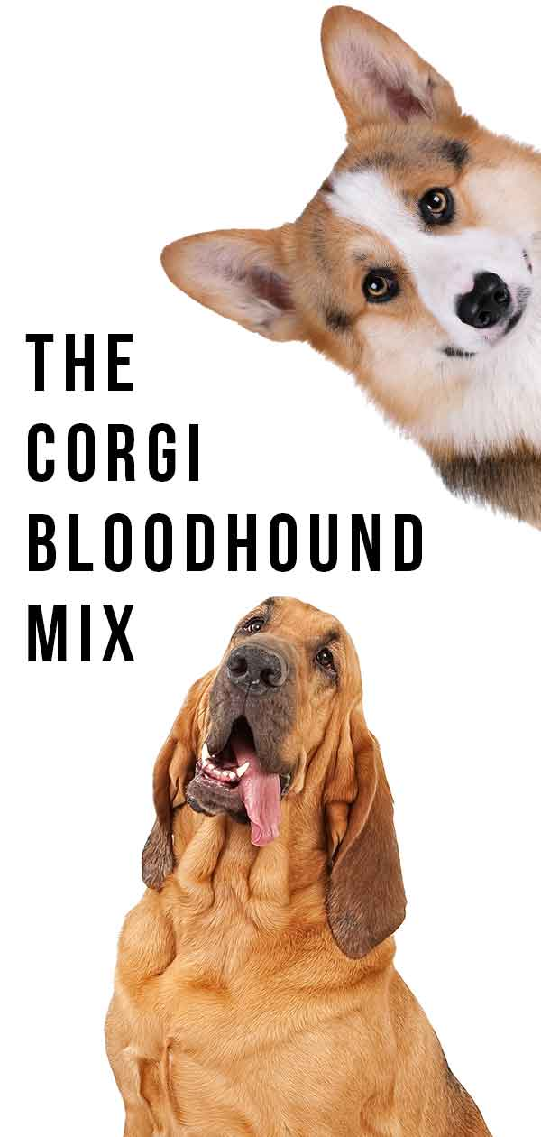 corgi bloodhound mix