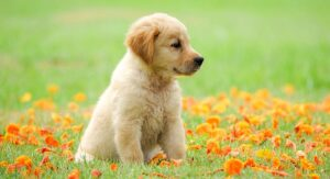 raising a golden retriever puppy