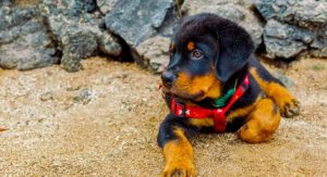 Best Harness For Rottweiler Dogs – Which To Choose And Why