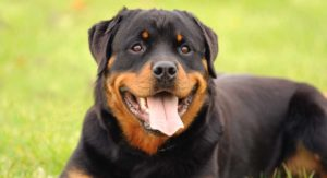 Best Dog Food For Rottweiler Adults And Seniors