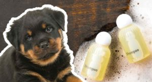 best shampoo for rottweilers