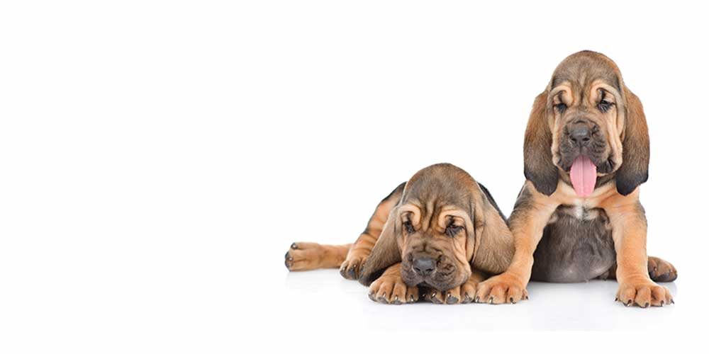 two bloodhound puppies