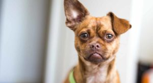 Chug – Is The Chihuahua Pug Mix A Great Family Dog?