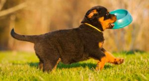 Feeding a Rottweiler Puppy – Schedules, Quantities and More