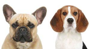 beagle mixes