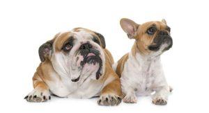 french bulldog vs english bulldog