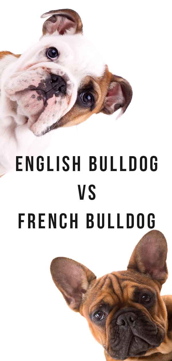 french bulldog vs english bulldog