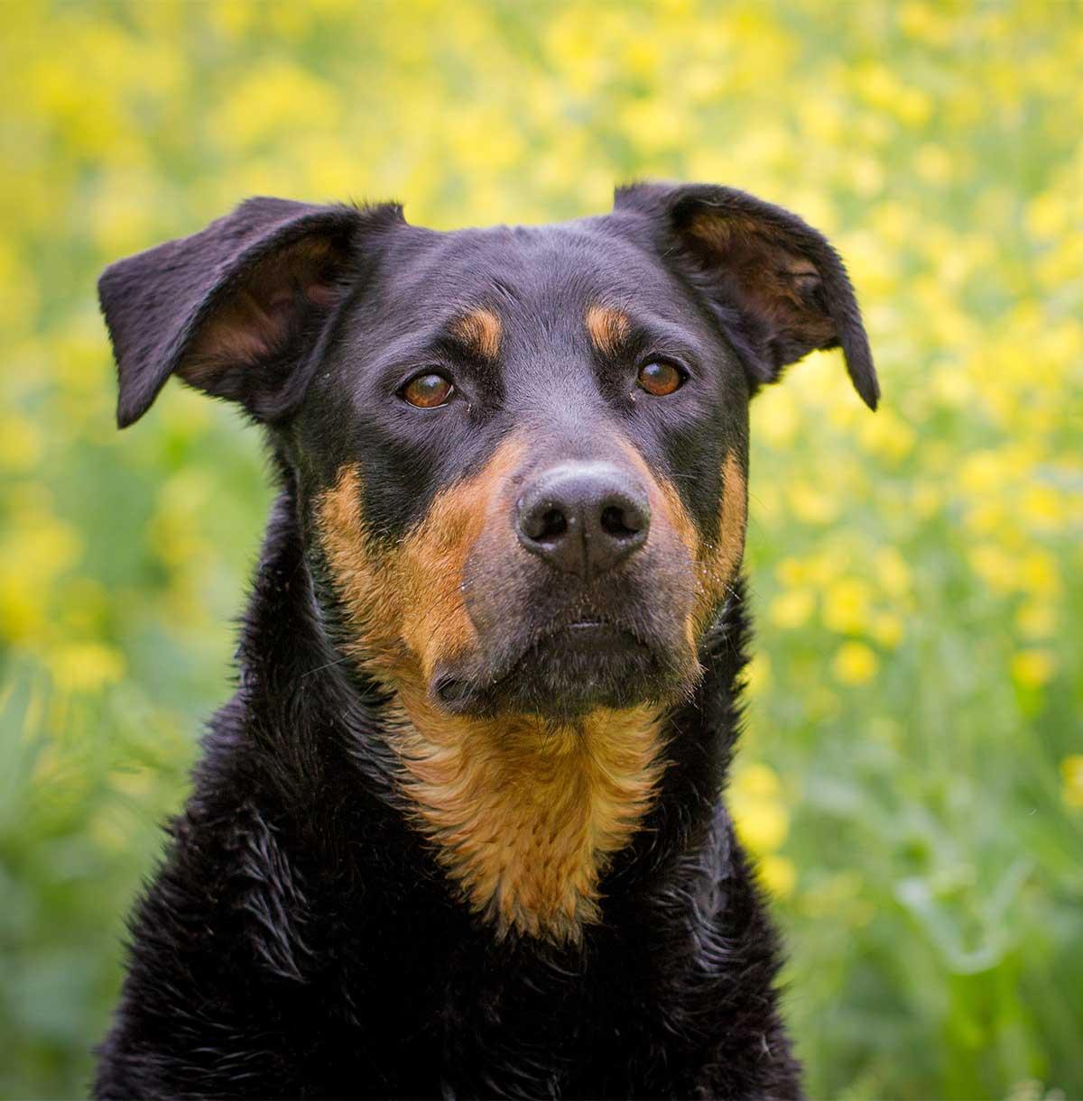 Labrador Rottweiler Mix