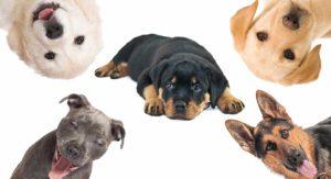 Rottweiler Mix – The Most Popular Rottie Cross Breeds