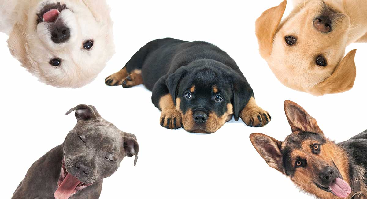 Rottweiler Mix The Most Popular Rottie Cross Breeds