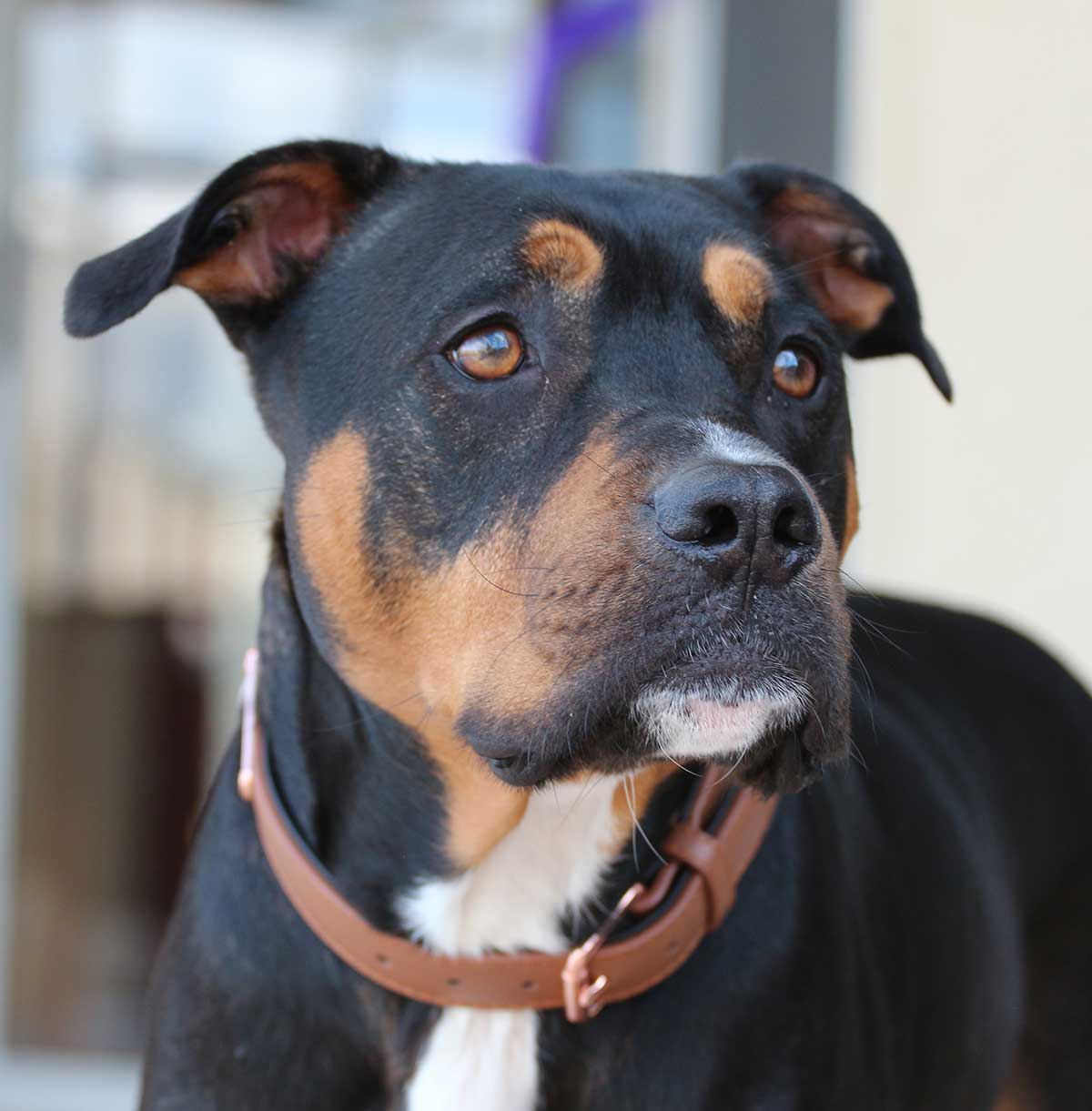 Pitbull mixes - Pitbull Rottweiler Mix