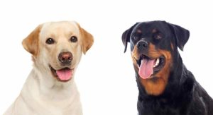 Rottweiler vs Labrador – Which Pet Is Better Suited To You?