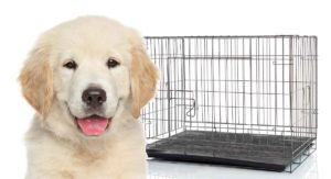 What Size Crate For Golden Retriever Puppies and Adults