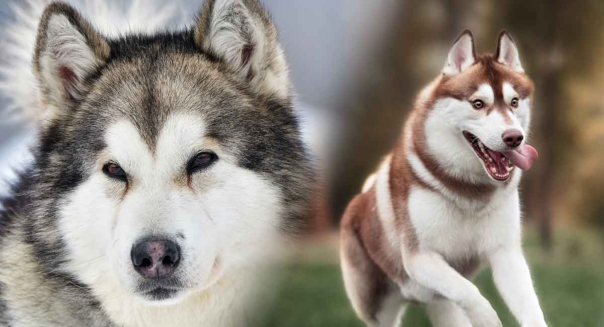 Alaskan Malamute And Siberian Husky