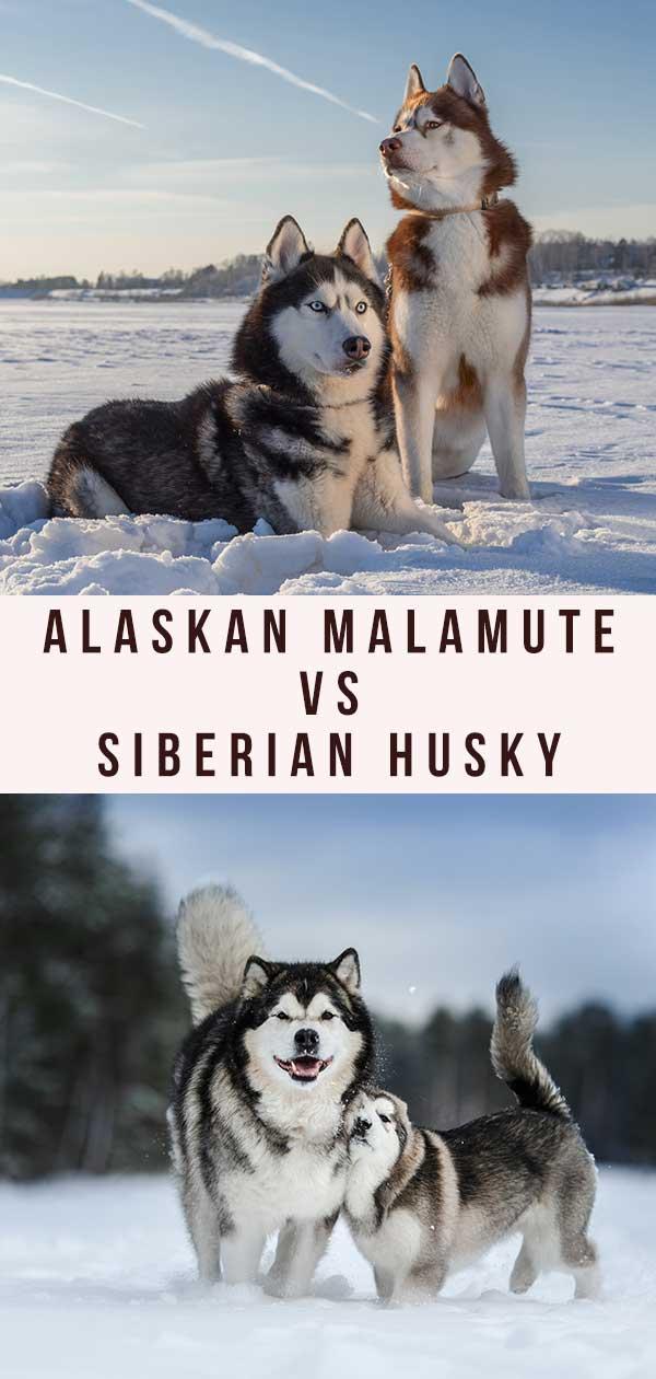malamute vs husky