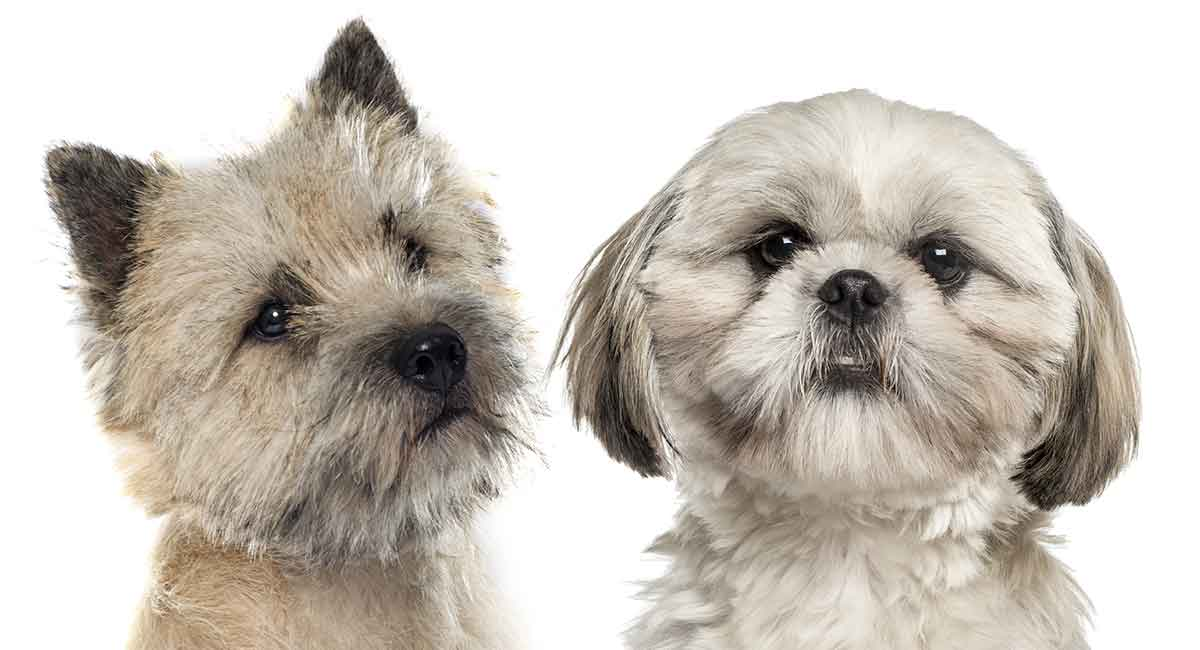 Cairn Terrier Shih Tzu Mix Two Fluffy