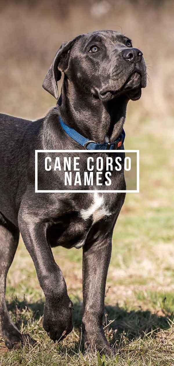 Cane Corso Dog Names