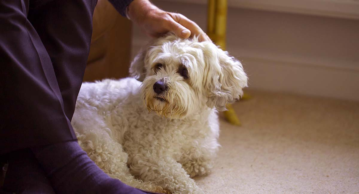 Zuchon Dog Breed Information Center The Bichon Frise Shih Tzu Mix